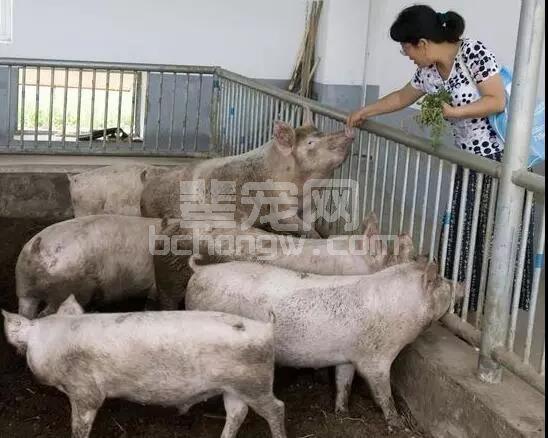 猪群排血痢,猪痢疾、猪增生性肠炎傻傻分不清...