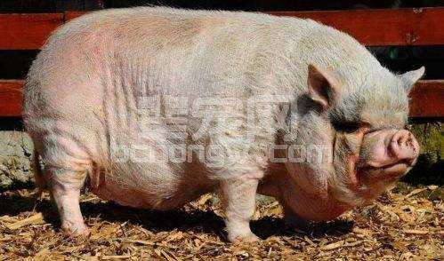 影响母猪淘汰七大因素!值得收藏